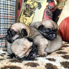 Look at The Mini Grumble! precious babies & to win my monthly GIVEAWAY Cute Pugs, Cute Puppies, Dogs And Puppies, Black Pug Puppies, Baby Pugs, Pug Pictures, Pug Love, Rescue Dogs, Funny Dogs