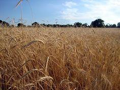 Hay field in Limãos