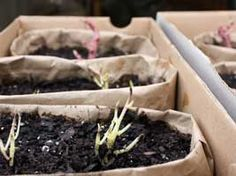 Planted sprouting potatoes for an early indoor crop...It happens every spring. As I go through the pantry to organize empty canning jars, I discover a few sprouting potatoes searching for light in drawers or shoe boxes (my favorite storage containers for potatoes).
