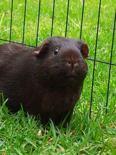 cute black piggy [Thanks to MISS LILLY, who previously pinned this to my shared board about Rodents.]