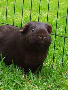 cute black piggy