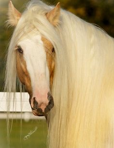 Palomino - I am going to try to grow my future horses hair this long. Most Beautiful Animals, Beautiful Horses, Beautiful Creatures, Irish Setter, Horse Pictures, Animal Pictures, Majestic Horse, All The Pretty Horses, Mundo Animal