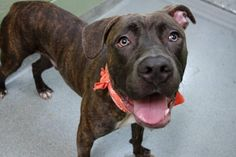 DUNCAN - A1088587 - - Manhattan  Please Share:TO BE DESTROYED 09/13/16 A volunteer writes: I was told how gorgeous Duncan is prior to meeting him, but wow, I wasn't expecting breathtaking magnificence! His brindle coat shines with good care, his weight is perfect for his size, and is soft, expressive face turned me into putty. Found as a stray, the noise and activity of a busy shelter is making him a bit nervous as I write this, and he carefully explores his options b