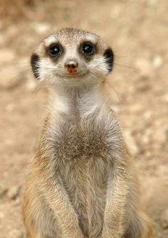 Brandi's spirit animal is an adorable meercat!
