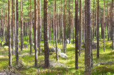 På vägen till Arboga finns denna underbart vackra tallskog. #arboga #kungsör #natur #landskap #canon5dmarkiii #canonphotography #nature #tall #landscapephotography #landscapelovers #landscape_lovers #landscape #landscapes #sverige #sweden #visitsweden #ig_captures #ig_great_pics #ig_masterpiece #igdaily #igscandinavia #scandinavia #bestofscandinavia #jonas_fotograf