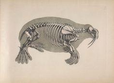dendroica:    Walrusby BioDivLibrary on Flickr.  [Die vergleichende Osteologie /. Bonn :In Commission bei Eduard Weber,1821-1838..biodiversitylibrary.org/page/40170574