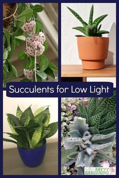 Most succulents prefer high light levels, but there are some succulent plants that grow well in lower light conditions. Meet 12 low light succulents that are perfectly at home in a dimly lit office or bedroom. #succulents #houseplants Low Light Succulents, Succulent Plants, Planting Succulents, Lower Lights, Garden Pests, Grow Your Own Food, Organic Vegetables, Garden Projects, Compost