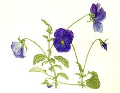 """Check out new work on my @Behance portfolio: """"Botanical illustration Рansies"""" http://be.net/gallery/55145519/Botanical-illustration-ransies"""