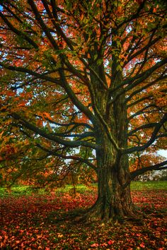 ~~Fall Tree in the Morton Arboretum in Lisle, Illinois by JoeyBLS Photography~~