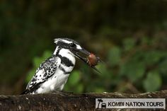 Pied kingfisher! For more information on Uganda's National Parks and Reserves, please visit our website.fisher!