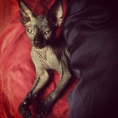 Just woke@Kat Von D's kitten up from her afternoon nap because I couldn't help it.#babypoe#tinyparts[January 17th, 2014 via Meliisa]