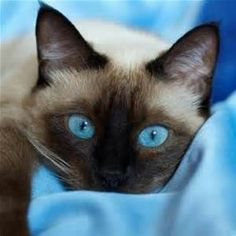 THOSE EYES... PEOPLE WHO HAVE ..OR WHO HAVE EVER HAD A SIAMESE CAN NEVER FORGET THE ''BLUE OF A SIAMESE CAT'S EYES. #SiameseCat