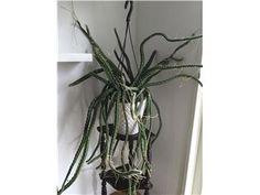 Nattens Drottning Selenicereus Pteranthus stora sticklingar kaktus