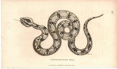 Constrictor Boa 1809 Original Antique Engraving Print by Shaw & Griffith