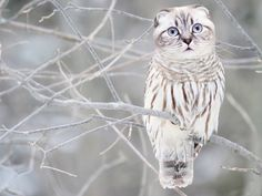 Meet the Meowls... the owl and cat hybrid the internet has graced us with (Gallery)