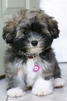 Very cute!  Havanese puppy