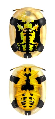 Aspidomorpha sp. endemic from Reunion