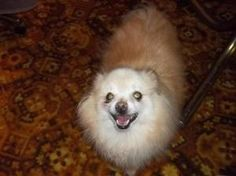 BabyGirl is an adoptable Pomeranian Dog in Culbertson, NE. Please contact Charlotte ( charlotte5050@yahoo.com ) for more information about this pet. BabyGirl has come a long way since arriving here! ...