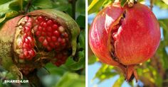 Why Pomegranates Crop Before They Grow On The Tree & What Can … – Homedesign Ideas Outdoor Gardens, Tree, Flower Garden, Flowers, Growing, Pomegranate Cultivation, Plants, Home And Garden, Backyard