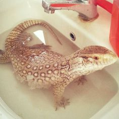 Bath time.  Pet Savannah Monitor of Anastasia Theodora.