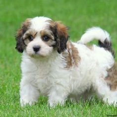 Cavachon Puppies For Sale - Cavachon Dog Breed Dogs dogs and puppies for sale Bichon Dog, Cavachon Puppies, Fluffy Puppies, Spaniel Puppies, Bulldog Puppies, Cute Puppies, Cute Dogs, Dogs And Puppies, Puppies Tips