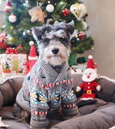 All the things we all adore about the Energetic Miniature Schnauzer Puppies Miniature Schnauzer Black, Miniature Schnauzer Puppies, Schnauzer Puppy, Cute Puppies, Cute Dogs, Most Popular Dog Breeds, Christmas Dog, Christmas Animals, Christmas Photos