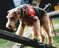Airedales' have excellent scenting ability and high intelligence make them ideal Search and Rescue Dogs