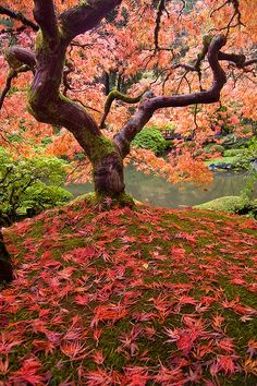 Japanese Maple Tree at Japanese Gardens Beautiful World, Beautiful Gardens, Beautiful Places, Wonderful Places, All Nature, Nature Tree, Portland Japanese Garden, Japanese Gardens, Maple Tree