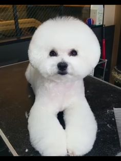 Bichon with shortened body