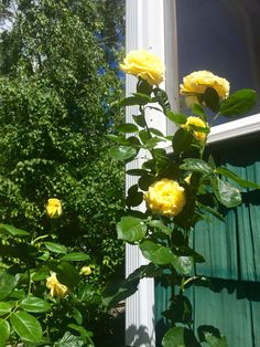 Today the Doris Day yellow rose tree opened up it's many blooms for show on the farm