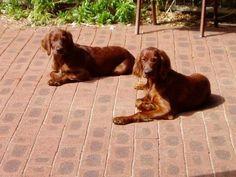 Irish Setter Pups ~ Classic Look ~ Windseeker Irish Setters