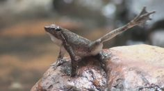 """14 new species of """"Dancing Frogs"""" discovered in southern India - 2014."""