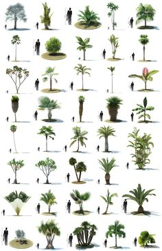 More trees information palm trees landscaping, tree sketches Palm Trees Garden, Palm Trees Landscaping, Tropical Garden, Tropical Plants, Backyard Landscaping, Landscape Architecture, Landscape Design, Garden Design, Architecture Plan