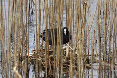Coot nesting Nature Photos, Birds, Photography, Image, Photograph, Fotografie, Bird, Photoshoot, Fotografia
