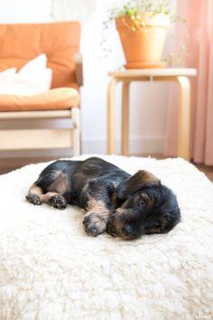 Miniature Wire Haired Dachshund, Mini Dachshund, Dachshund Puppies, Dogs And Puppies, Daschund, I Love Dogs, Cute Dogs, Handmade Dog Collars, Baby Dogs