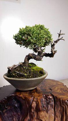 Mini Bonsai, Plants, Plant, Planets