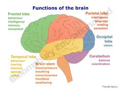 Lateral view of brain with lobes colored and functions listed science week 4 the brain diagram and functions brain functions and parts ccuart Gallery