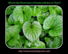 If you notice a powdery mildew on your house plants, you can create a homemade solution to this problem. Find out here, as well as get a complete list of susceptible plants.   #mymomstotallynuts, #houseplant, #stephanienolan, #garden, #mildew, #gardentips, #momblog, #momblogger