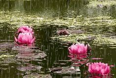 """Bonitas imagenes gif de flores ylluvia. Son dos preciosas imagenes donde verás la lluvia caer en un paisaje con flores, que realmente te gustaran. Puedes descargar estas imagenes animadas de flores con lluvia, y enviarla por whatsapp a tus amigos, y compartirla en tus perfiles sociales como facebook y google plus. """"Bonitas Imagenes Gif de Flores Y Lluvia"""" """"Imagenes animadas de rosas y lluvia"""" Estas son muy bonitas imagenes de flores con lluvia en movimiento que vale la pena compartir…"""