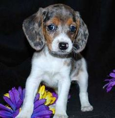 blue merle pocket beagle  - need one!