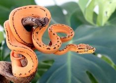 Information portal for reptile and amphibian hobbyists offering classifieds, forums, photo galleries, events, business listings and much more for various species Animals Images, Animal Pictures, Cute Animals, Cute Reptiles, Reptiles And Amphibians, Female Tiger, Snake Photos, Poisonous Snakes, Cute Snake