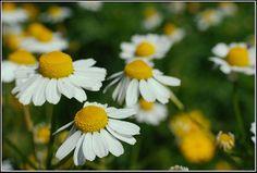 Heřmánek pravý (Matricaria recutita) Čeleď: Hvězdnicovité (Asteraceae)