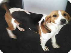 #NCAROLINA #URGENT ~  ID A011056 is a Treeing Walker Coonhound in need of a loving #adopter / #rescue at PENDER COUNTY ANIMAL SHELTER  3280 New Savannah Rd #Burgaw NC 28425  PH 910-259-1349