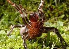 The male Funnel Web Spider is five times deadlier than the female. The spider grips its victim and stabs repeatedly with hardened fangs that can pierce a human fingernail!