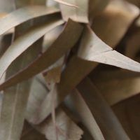 If you've ever smelled eucalyptus, you know that it's an acquired smell. Most people either love it or hate it, as it's a very natural, strong, earthy fragrance. Homemade Essential Oils, Essential Oil Blends, Leaf Tv, How To Make Oil, Edible Oil, Patchouli Oil, How To Relieve Headaches, Lemon Oil, Eucalyptus Oil