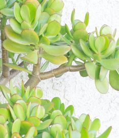 Jade Plants are succulents that feature woody stems. Learn how to grow a jade plant in your home or garden! Succulent Planter Diy, Succulent Gardening, Planting Succulents, Organic Gardening, Planting Flowers, Succulent Plants, Container Gardening, Jade Succulent, Propagating Succulents