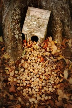 acorns for my neighborhood squirrels...they are getting ready for the long haul....