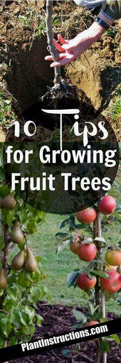 Today we'll show you 10 tips for growing fruit trees so that you can have the most bountiful, beautiful fruit trees ever! #GardeningIdeas