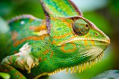 Chameleons change color because of mood, temperature, light, and for communication purposes, not primarily for camouflage.