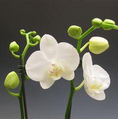 Phalaenopsis Orchids House Plant Heaven